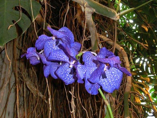 Орхидея-эпифит в природных условиях