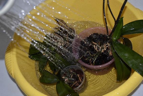 После обильного полива орхидеи необходимо оставить в ванной, чтобы стекла вода