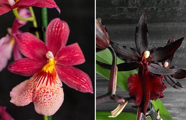 Популярные орхидеи Буррагеара и Колманара