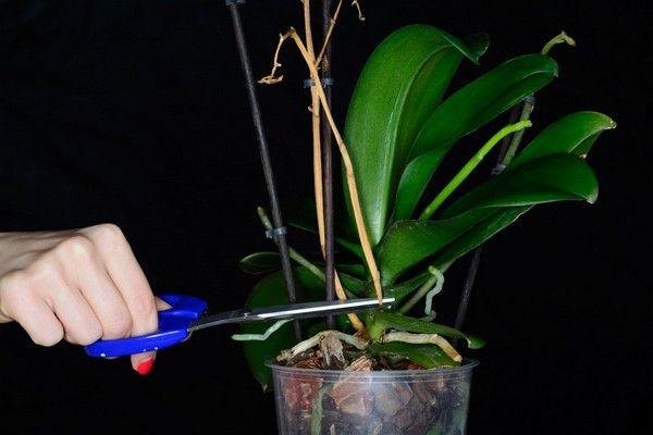 Цель обрезки – стимулировать развитие орхидеи