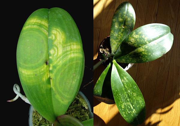 Проявления вирусных заболеваний орхидей