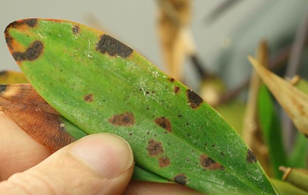 Бактериальная пятнистость листьев орхидеи