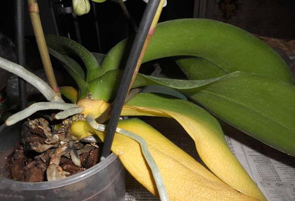 Фузариозная гниль характеризуется пожелтением листьев