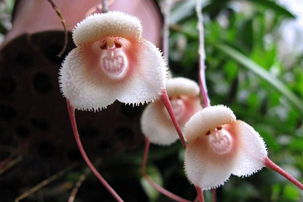 Орхидею рекомендуют держать в недоступном для детей месте