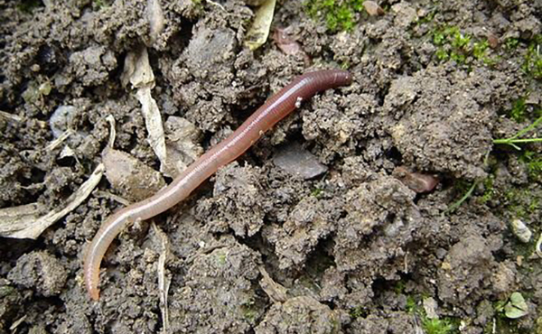 Дождевой червь не принесет вреда орхидее