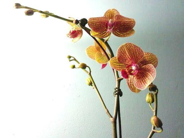 Для орхидеи важен температурный режим
