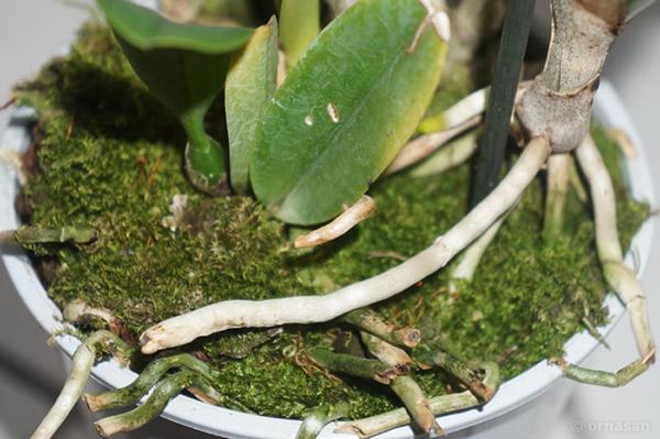 Прикройте корни мхом для поддержания естественного уровня влаги