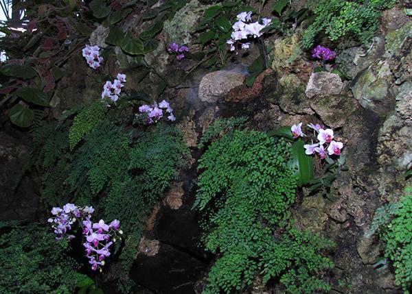 Орхидеи, которые проирастают на скалах - литофиты