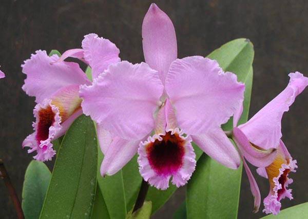 Розовая орхидея Каттлея Персиваля