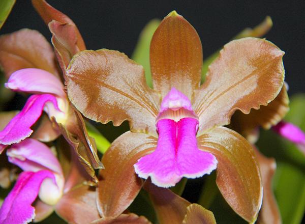 Бразильская орхидея Двухцветная Каттлея