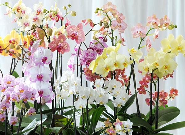 Орхидеи фаленопсис обычно больше 5 лет не живут