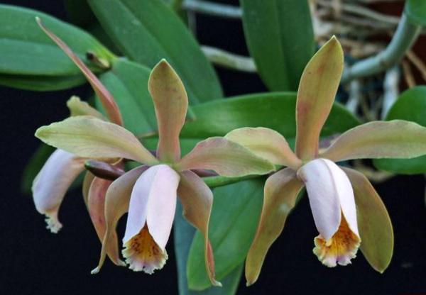 Бразильская орхидея Каттлея Форбеза