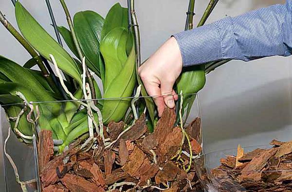 Поливайте орхидею только после полного высыхания субстрата