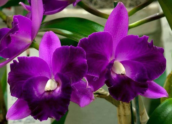Фиолетовая орхидея подвида Каттлея