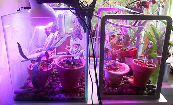 Выхаживание орхидеи в теплице под лампой