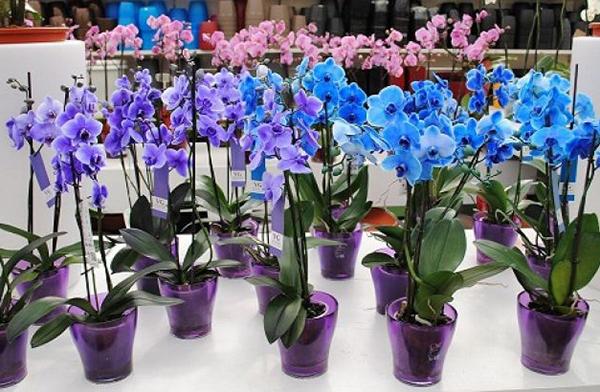 Смена условий для орхидеи - сильнейший стресс