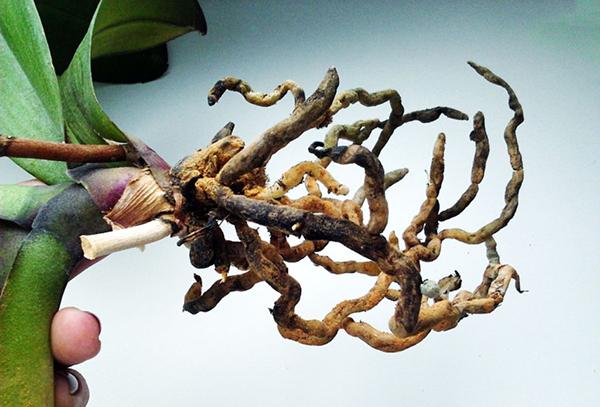 Гниющая корневая система орхидеи