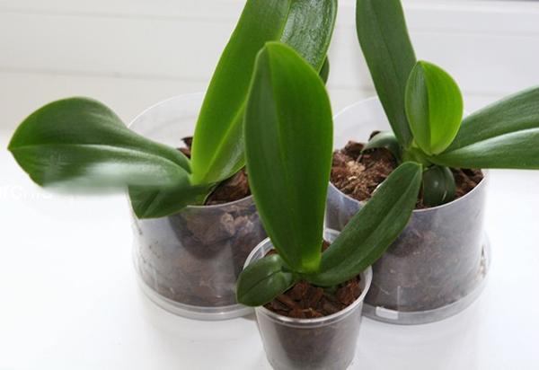 Рекомендуется садить орхидеи в прозрачные горшки