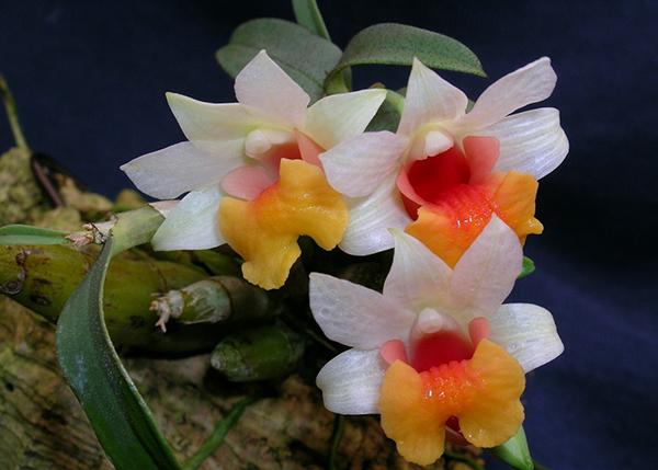 Дендробиум прекрасный (Dendrobium bellatulum)