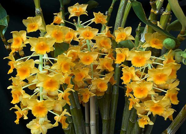 Дендробиум густоцветный (Dendrobium densiflorum)