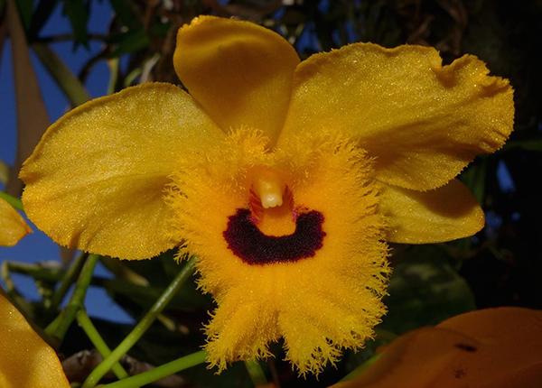 Дендробиум бахромчатый (Dendrobium fimbriatum)