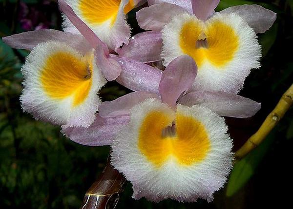 Дендробиум первоцветный (Dendrobium primulinum)