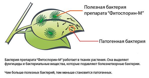 Как действует препарат фитоспорин