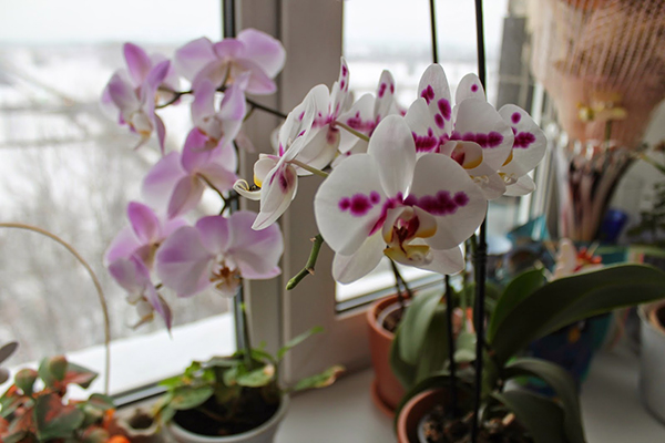 Белой орхидеи необходимо подобрать хорошо освещенное место