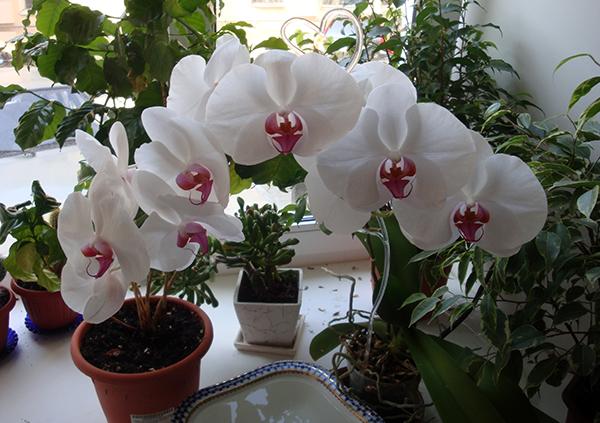 Белые орхидеи бывают разных форм и размеров