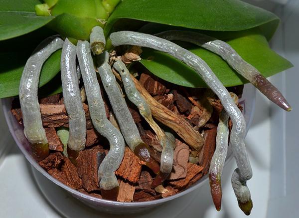 Корни орхидеи сверху покрыты веламеном