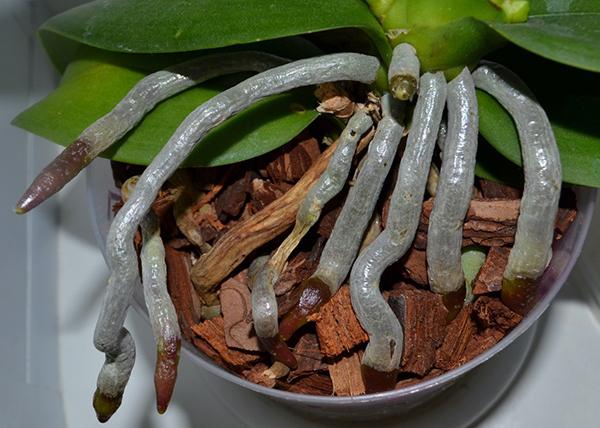 Воздушные корни орхидеи запасают влагу