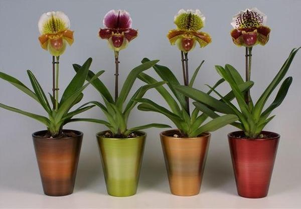 Посадка вьетнамской орхидеи — Наш сад