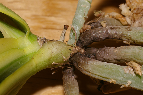 Сажистый грибок на корнях фаленопсиса