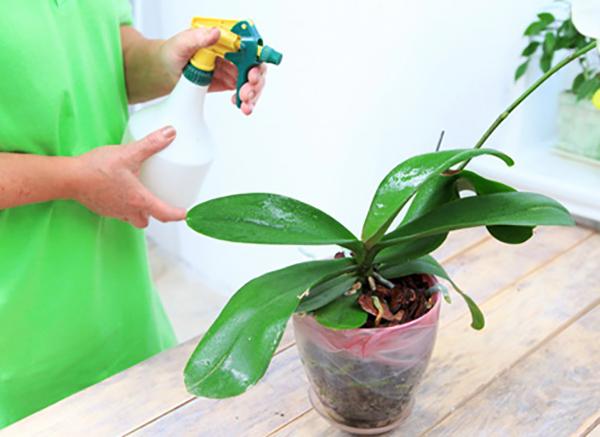 Белую орхидею необходимо регулярно опрыскивать