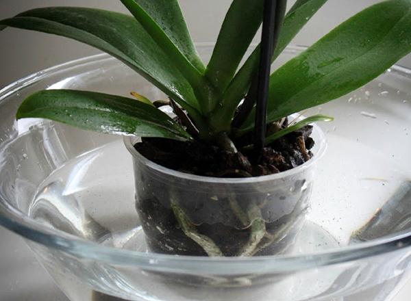 Идеальный способ полива орхидеи - погружение в теплую воду