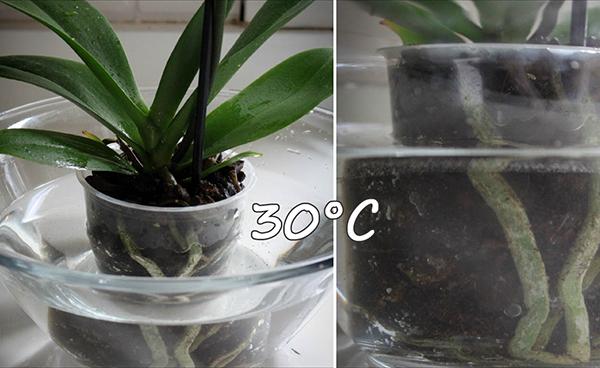 Наиболее эффективный способ полива орхидеи - погружение