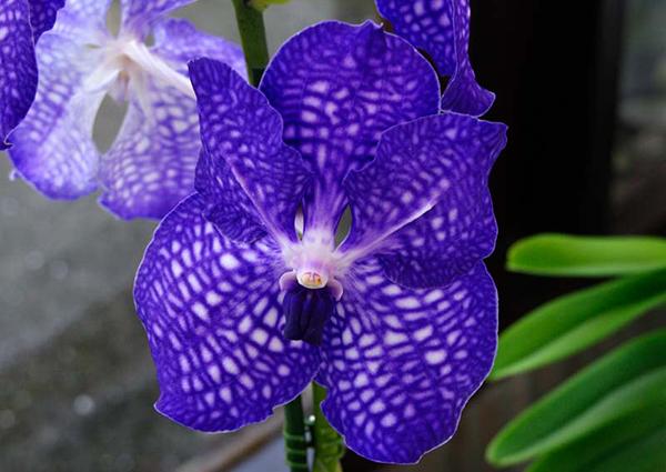 Фиолетовая орхидея подвида Ванда