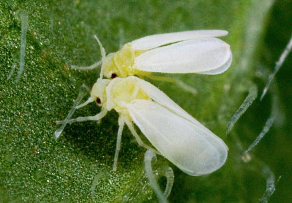 Белокрылка способна высосать все соки из растения