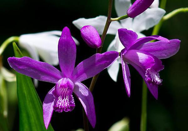 Фиолетовая орхидея подвида Блетилла