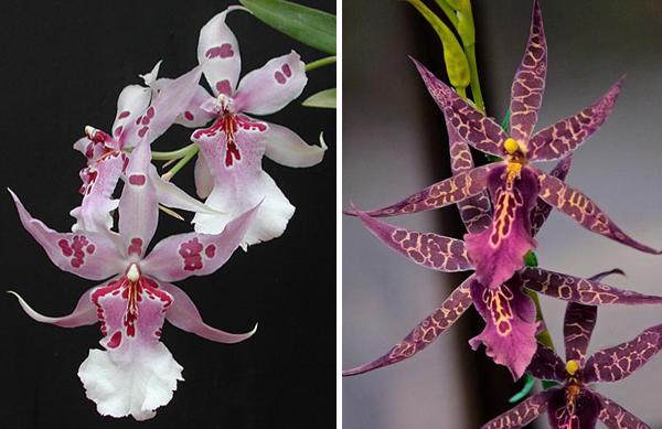 Популярные орхидеи Беаллара и Мильтассия