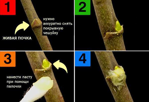 Как использовать цитокининовую пасту для орхидеи