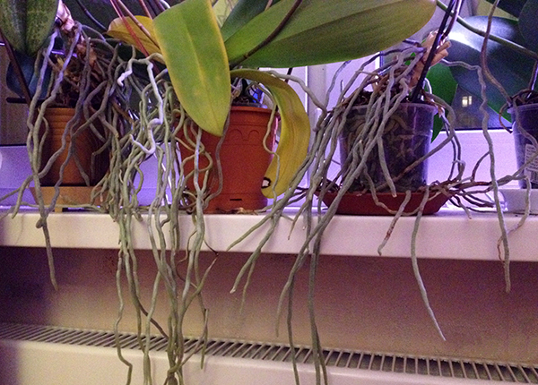 Пересадка необходима, если появилось много воздушных корней
