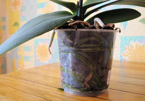 Рекомендуется пересаживать орхидею в прозрачную емкость