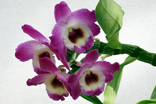 Дендробиум благородный (Dendrobium nobile)
