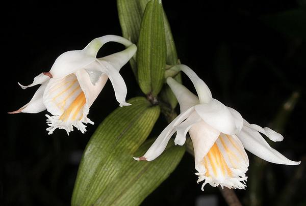 Дендробиум длиннорогий (Dendrobium longicornu)