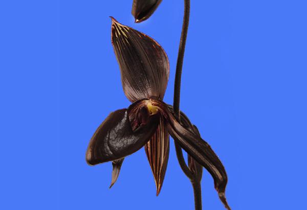 Темно-бордовая орхидея - Paphiopedilum de Nachtwacht