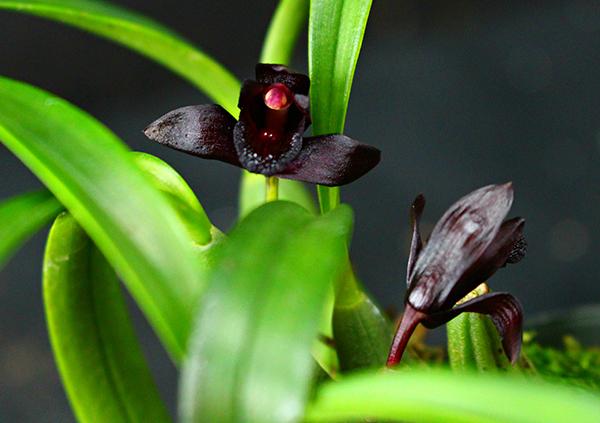 Самая редка разновидность черной орхидеи - Maxillaria schunkeana