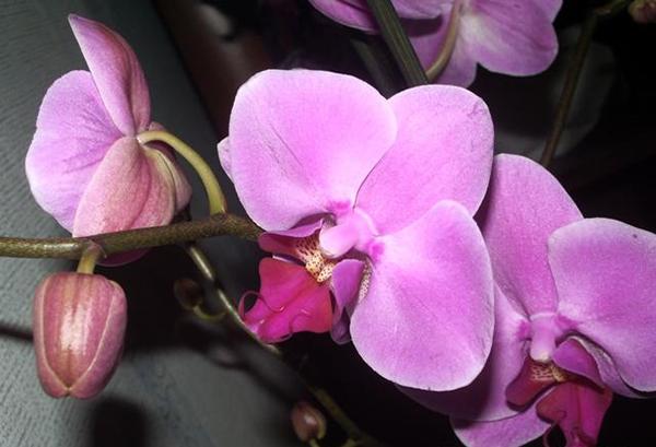 Рекомендуется покапать орхидеи с нераспустившимися бутонами