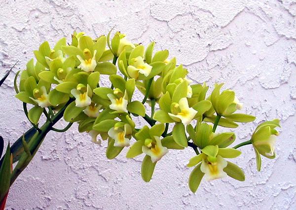 Цимбидиум Миниатюрный характеризуется маленьким размером цветков