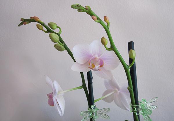 В период роста цветоноса орхидее нужно больше света